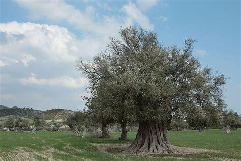 הזית- יהודי תימן