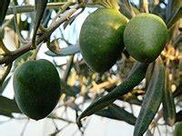 הזית קורניקי