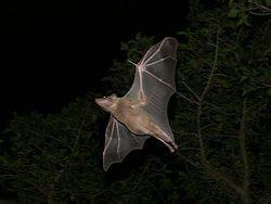 חיות מיוחדות! עטלף