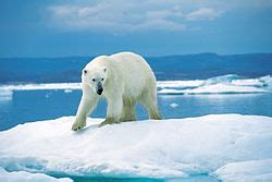 דוב קוטב צפוני