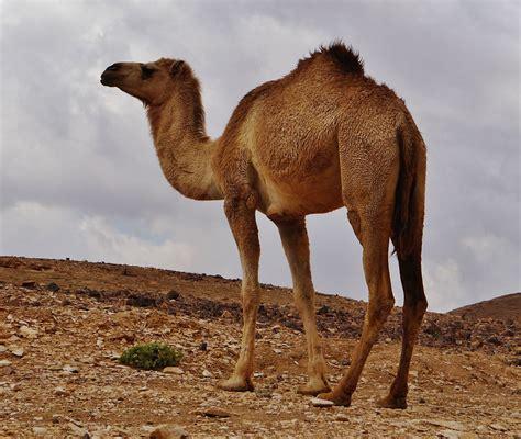 גמל (Camelus)