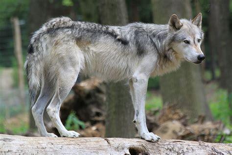 החיה זאב