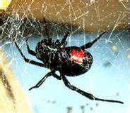אלמנה שחורה (עכביש)