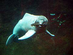 דולפין אמזונאס