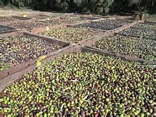 פרי הזית