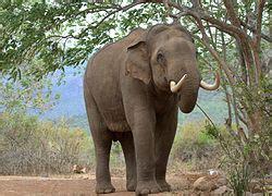 פילים חיה
