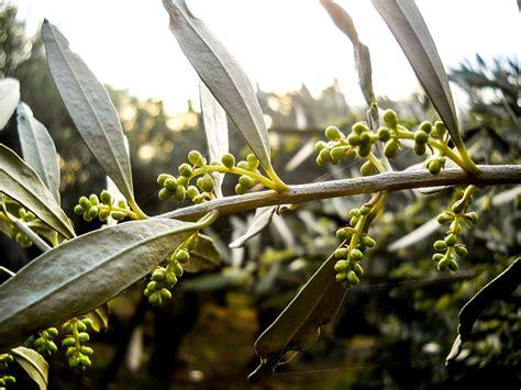 שורשי עץ הזית