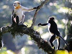 קוף סלוד אף