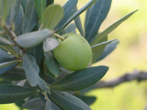חלקי הזית- העלים